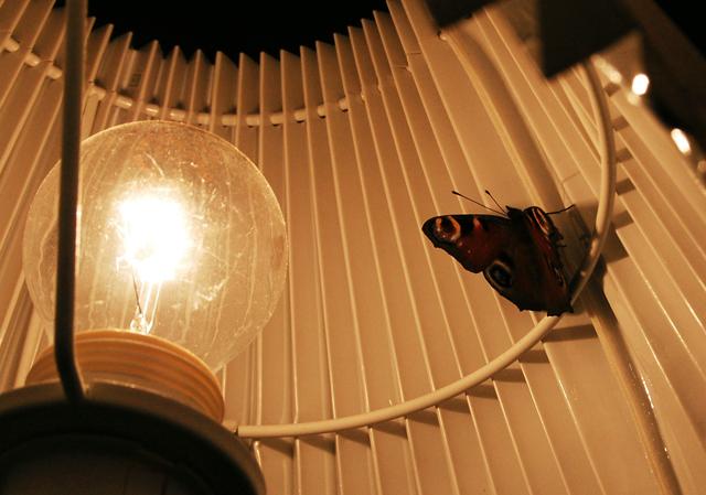 Kuva kauniista sisälle lentäneestä neitoperhosesta polttimon vieressä siivet auki